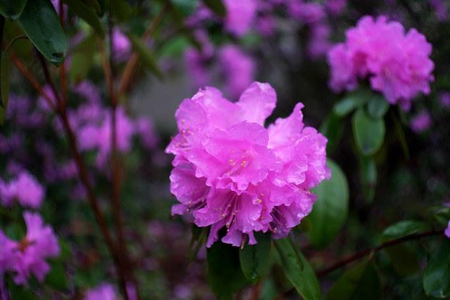 Azalea, Oregon Park