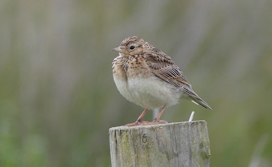Juvenile Skylark and a Meadow Pipit