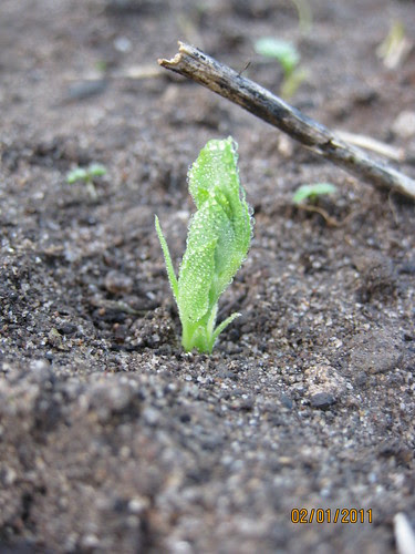 sugar snap pea emerging