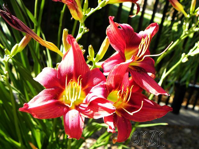 DSCN1793 Day Lilies