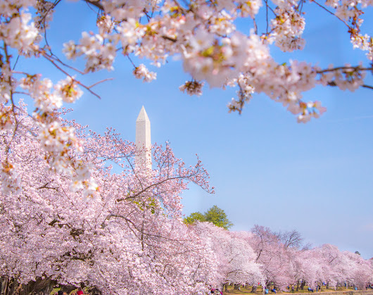 A complete guide to seeing Cherry Blossoms in Washington DC - My Ticklefeet