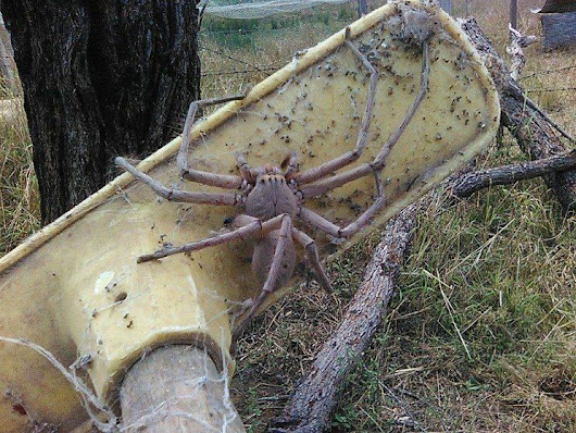 Is this gigantic Huntsman spider the biggest ever seen?