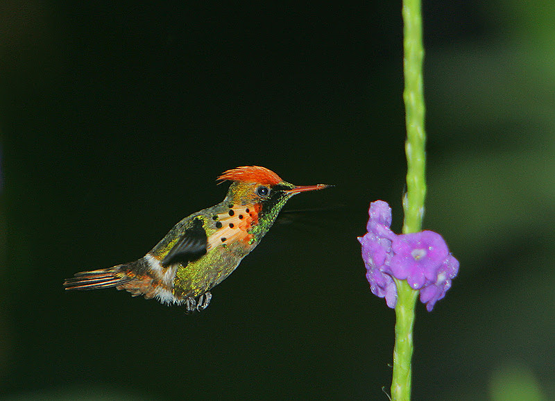 File:Lophornis ornatus -Asa Wright Nature Centre, Northern Range, Trinidad, Trinidad and Tobago-8.jpg