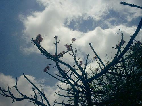 flame tree, photo  patrick wafula