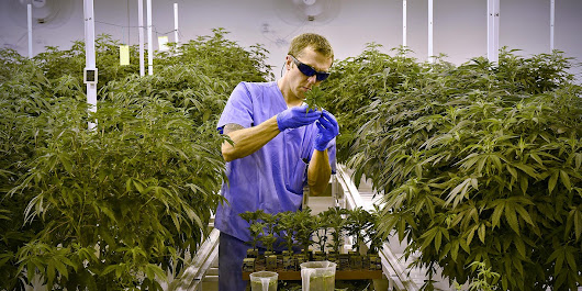 Want a local job growing or selling medical marijuana?