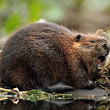 Beaver / Muskrat - Anytime Wildlife Removal