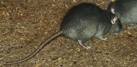 Pests in the Back Yard: An Introduction to Garden Rodents   Dave's Garden