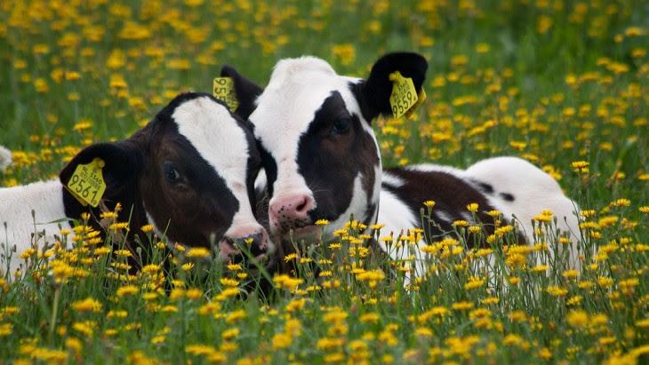 sabias que las vacas eligen a su mejor amigo por siempre y si las separas ellas pueden morir