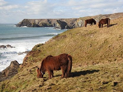 Photo of Shetland Ponies on the Cliffs between Caerthillian Cove and Lizard Point | Cornwall Coastal Views in Cornwall | into Cornwall Photo Gallery | browse photographs online | Cornish scenes by Into Cornwall