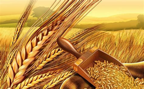 Wheat wallpaper   1920x1200   #70856
