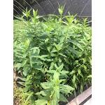 Asclepias incarnata ssp. incarnata SH50 Plugs   Conservation Quality Plants by ArcheWild