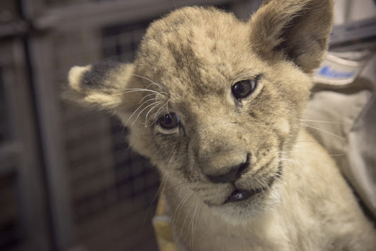 Lion cubs prep for entry into San Antonio zoo living environment with vaccines, microchips