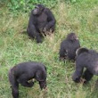 1 day trip to Ngamba island Chimpanzee Sanctuary