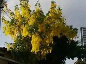 Ipê amarelo (Foto: Reprodução/ TV Asa Branca)