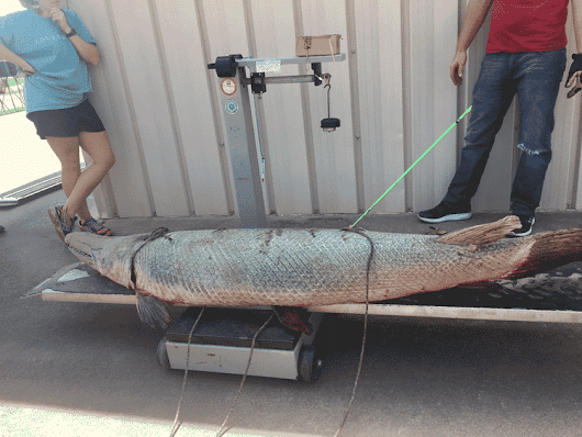 TPWD Unveils New Alligator Gar Website
