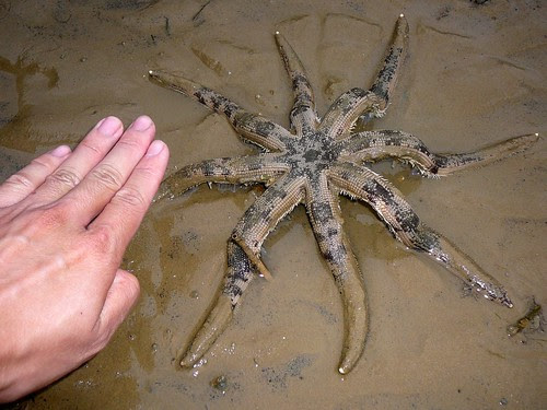 Eight-armed sand star (Luidia maculata)