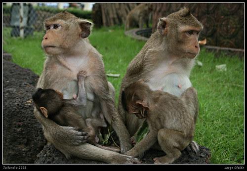 Templo del mono, Lopburi              Monkey Temple
