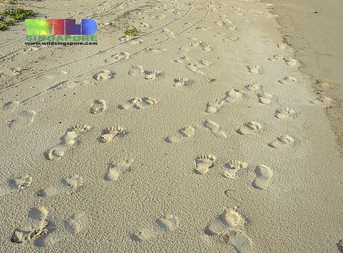 Sand tracks: Homo sapiens - the most dangerous animal on the planet