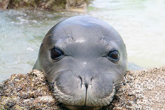 See to believe: Two of the Minnesota Zoo's Hawaiian monk seals get Lasik - Twin Cities Agenda
