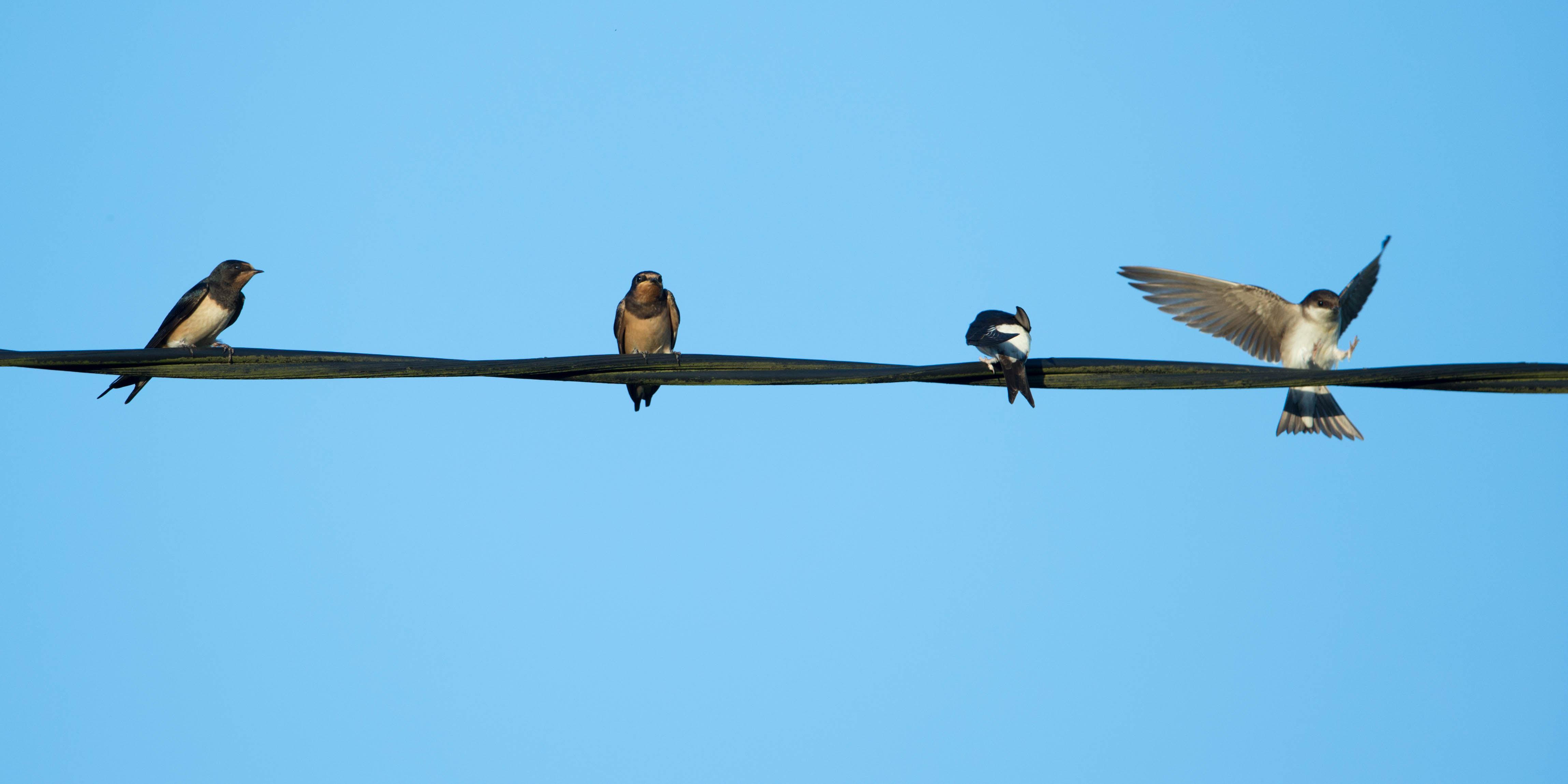 Birds On The Wire Websters Wildshotswebsters Wildshots