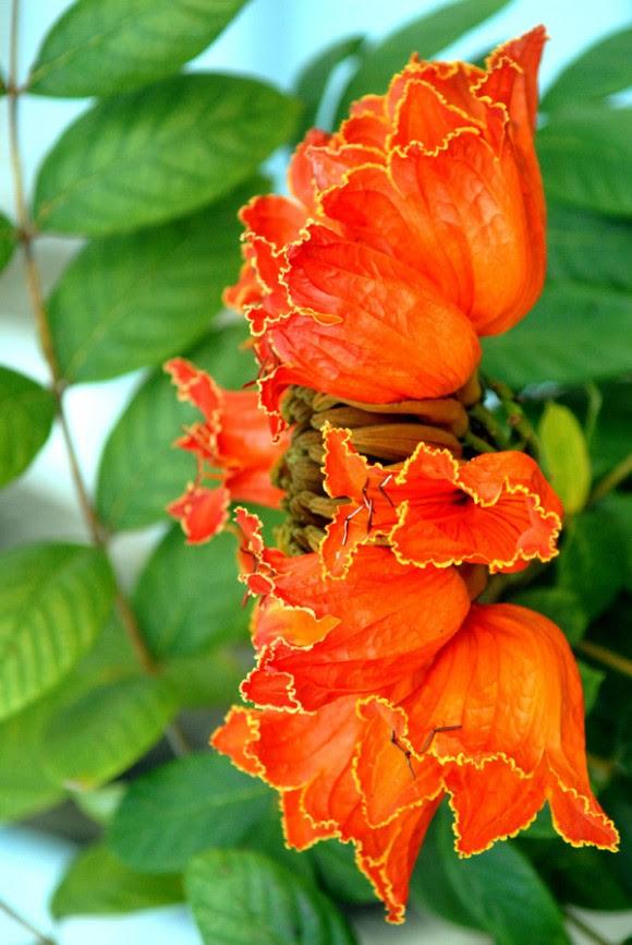 Resultado de imagen para tulipan africano