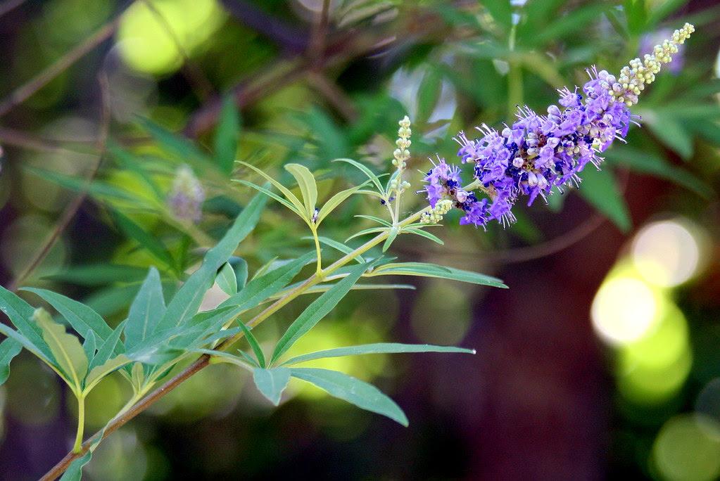 vitex agnus-castus o sauzgatillo de las verbenaceae
