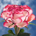 Pink Roses 50 Flowers Free Delivery by GlobalRose