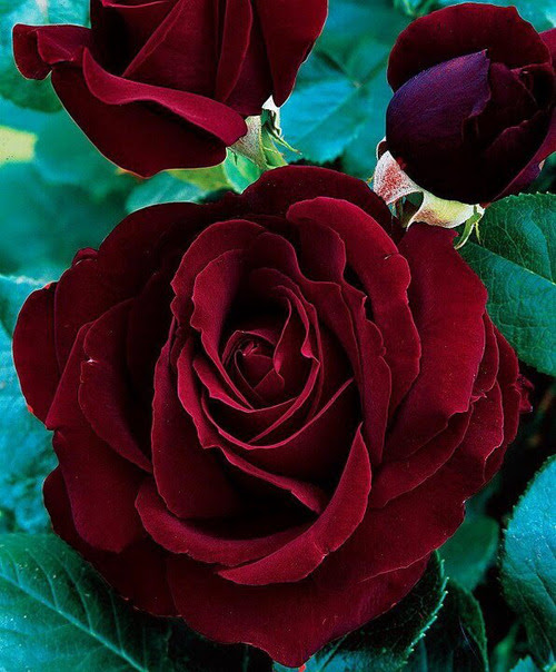 quiet-hippie:    I LIKE MY ROSES RED.