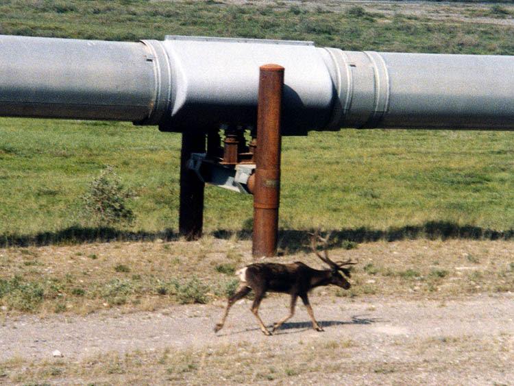 File:Alaska Pipeline and caribou.jpg