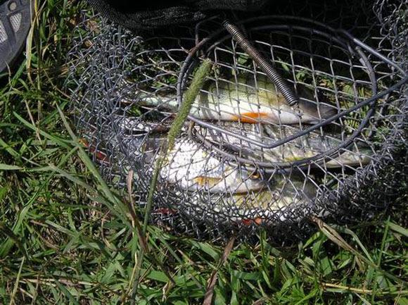 Как сохранить рыбу, как сохранить рыбу свежей, как сохранить рыбу на рыбалке, как сохранить улов, как сохранить рыбу в садке, как сохранить рыбу на кукане, как сохранить рыбу в жару, как сохранить рыбу летом, признаки порчи рыбы