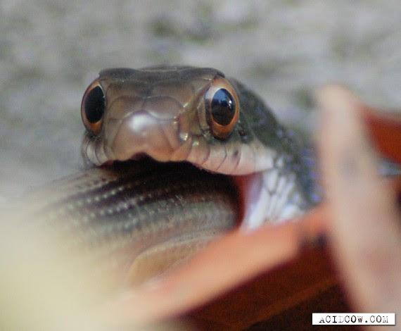 Snake Eating  Snake (11 pics)
