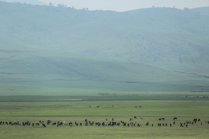 In this photo taken Saturday, Jan. 17, 2015, cattle belonging to Maasai ethnic group graze in the highlands of Ngorongoro Conservation Area, west of Arusha, northern Tanzania.