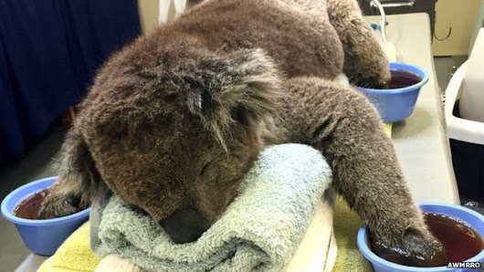 'Room service over' for rescued koala