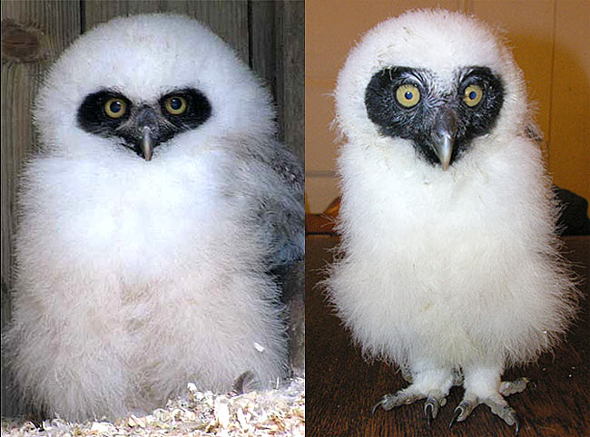 Spectacled Owl Chicks Born Fluffy White Baby Animal Zoo