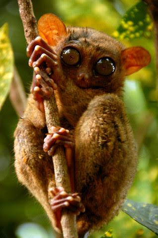 cute tarsier