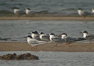 English: Roseate Tern (Sterna dougallii) The c...
