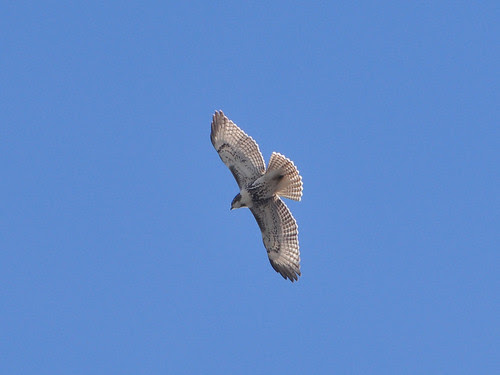 Juvenile Red-Tail over 116th St