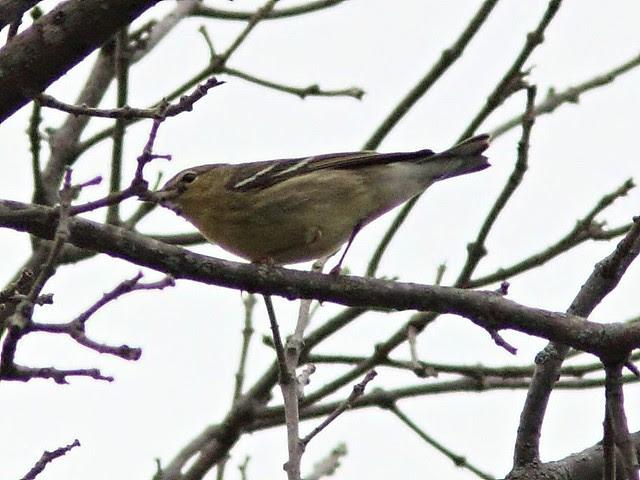 Blackpoll Warbler 20130905