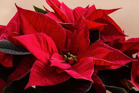 The domestication of the poinsettia