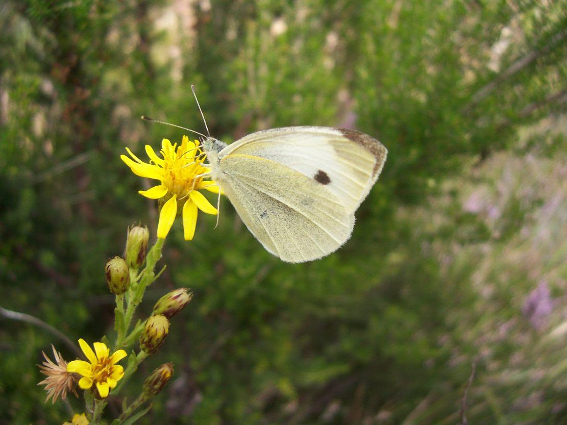 Photo de papillon :  piéride du chou - pieris brassicae