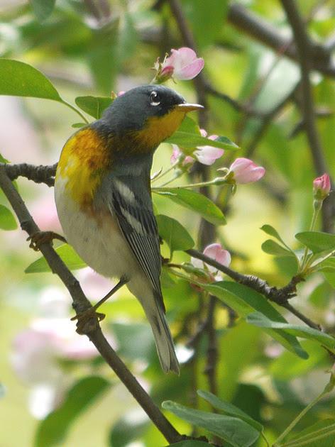Ed Gaillard: birds &emdash; Northern Parula, Central Park