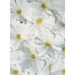 Petunia Aladdin White Annual Seeds