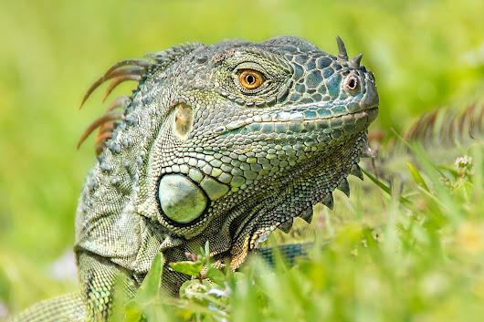 Iguana by heather.allen.750 on YouPic