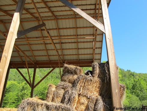Bert in the hay (2) - FarmgirlFare.com