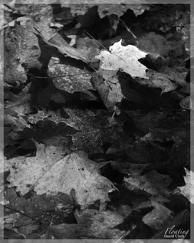 A white maple leaf floating in a puddle, filled with decaying and waterlogged leaves.
