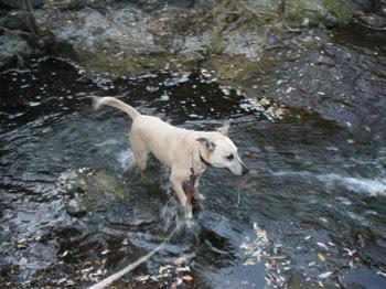 Goldie crosses the creek