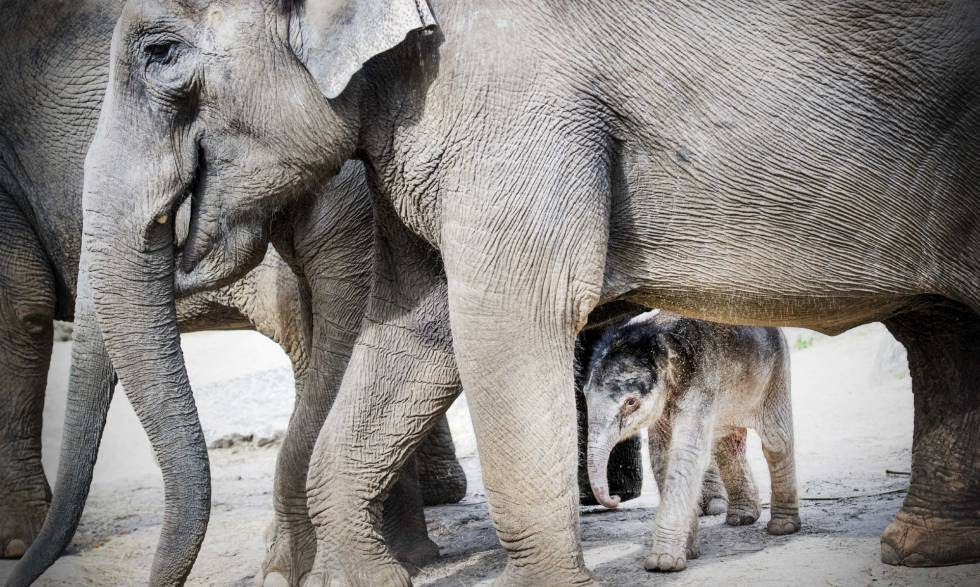 A family of elephants in a zoo in the Netherlands.