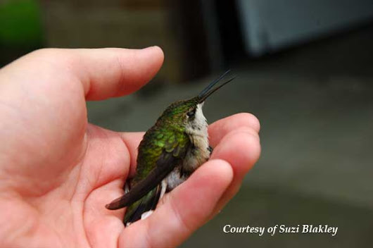 Hummingbird Rescue and Care. About First-Aid.