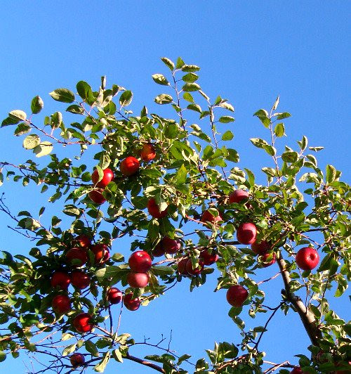 apples and blue skies