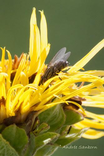 Elecampe (Inula helenium)-4.jpg